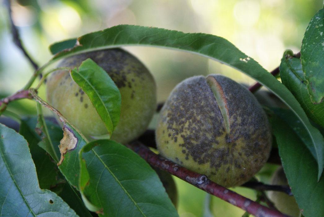 pfirsich krankheiten pfirsich kr uselkrankheit kr uselkrankheit pfirsich obst pfirsichschorf